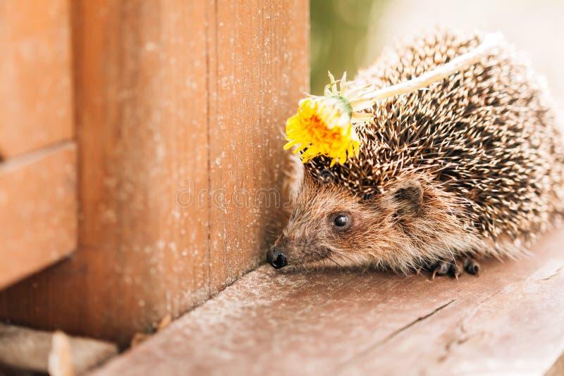 站立在与春天蒲公英花的木地板上的猬在脊椎 免版税图库摄影