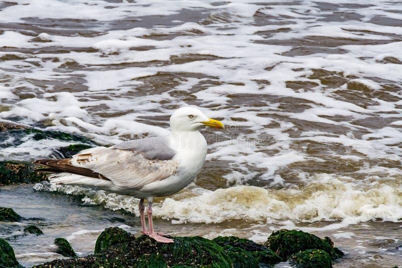 站立在与海草的岩石的海鸥 库存图片