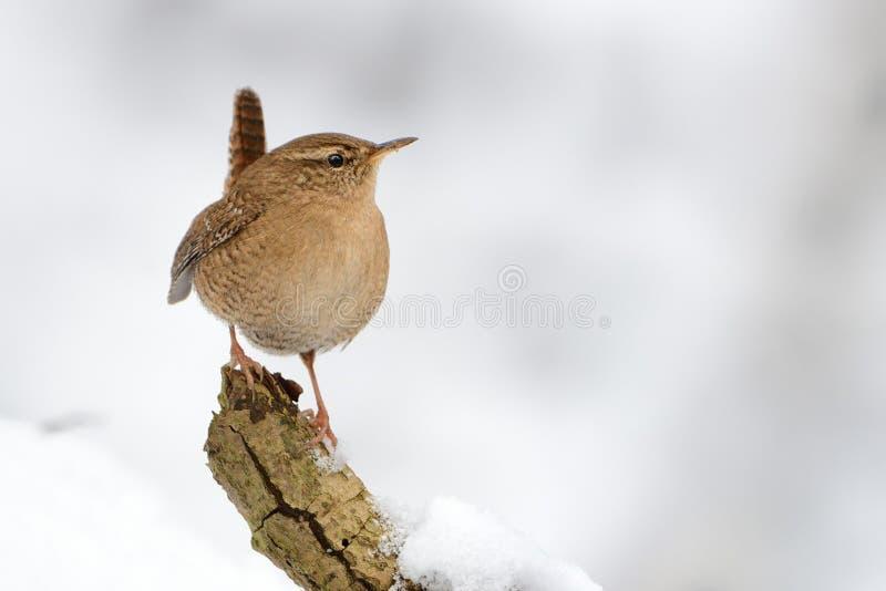 站立在与雪的分支的欧亚鹪鹩穴居人穴居人 与逗人喜爱的小的鸟的冬天图片在雪 免版税库存照片
