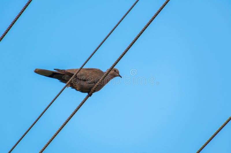 站立在从杆的导线的美好的灰色turtledove ? 库存照片