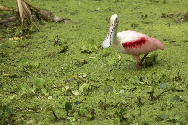 站立在佛罗里达前夕的水厂中的粉红琵鹭 库存图片