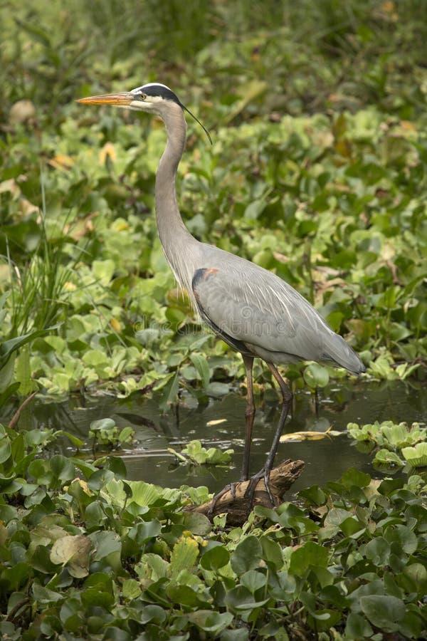 站立在佛罗里达沼泽的伟大蓝色的苍鹭的巢 库存图片