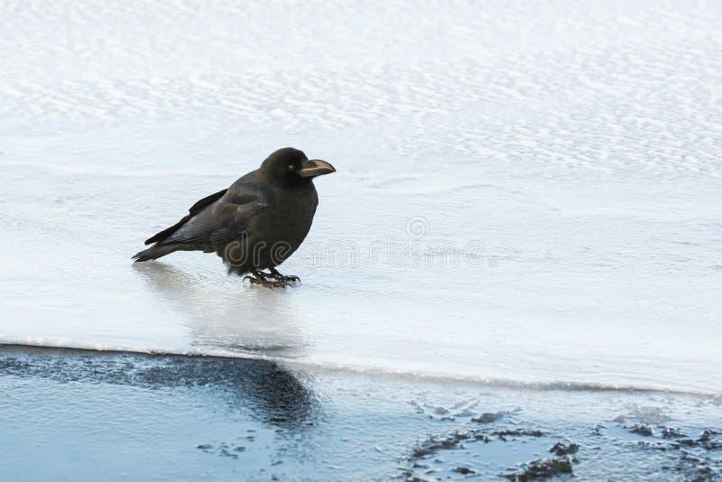 站立在冰的大开帐单的乌鸦 免版税图库摄影