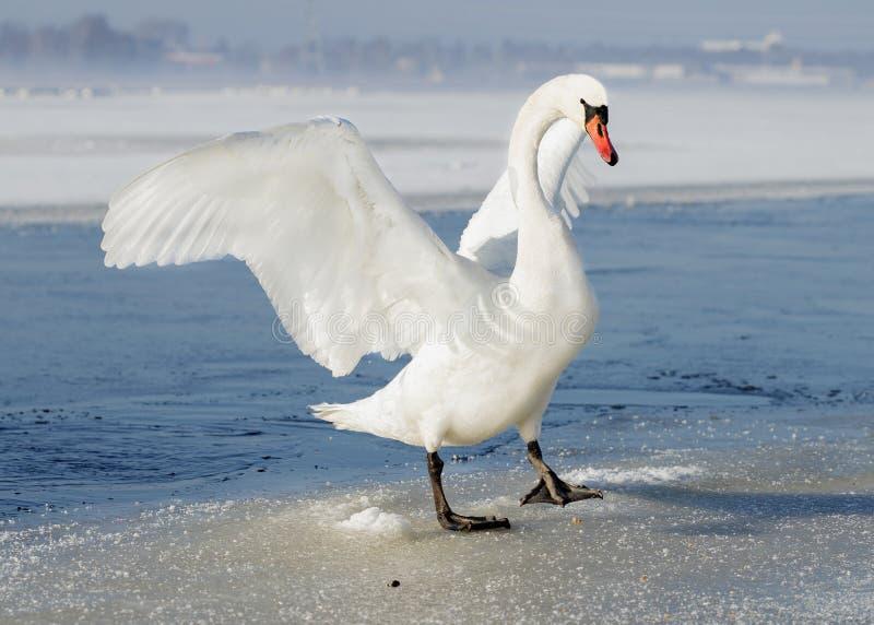 站立在冻湖和延长它的wi的美丽的天鹅 免版税图库摄影
