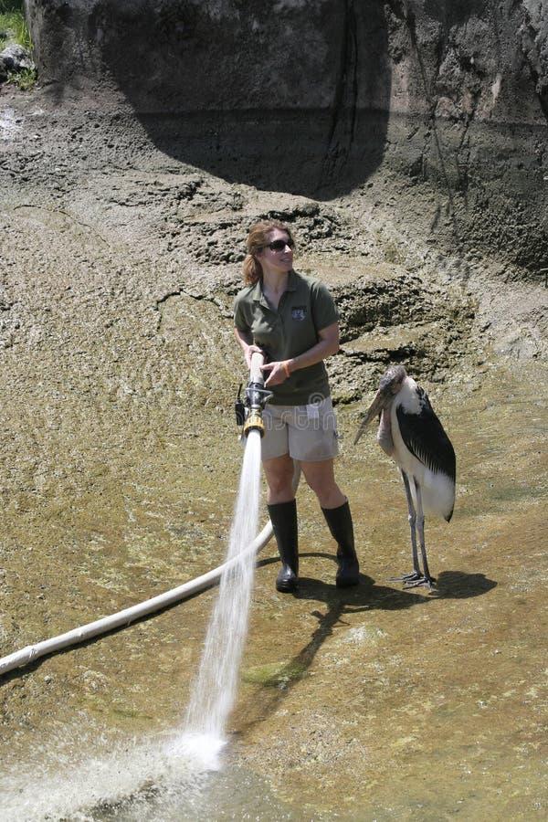 站立在动物园管理员旁边的Maribou鹳在印第安纳波利斯动物园 免版税库存图片