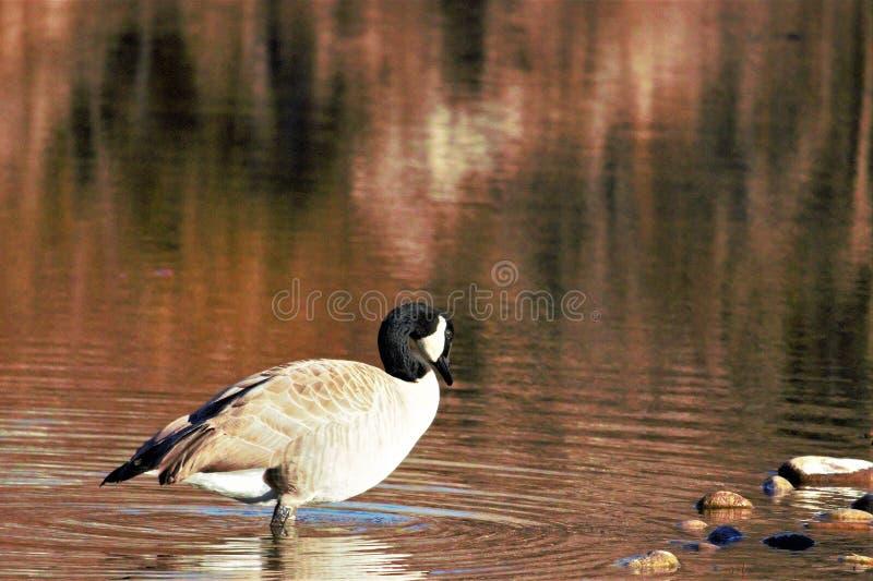 站立在博伊西河的浅水区的孤立鹅 库存图片