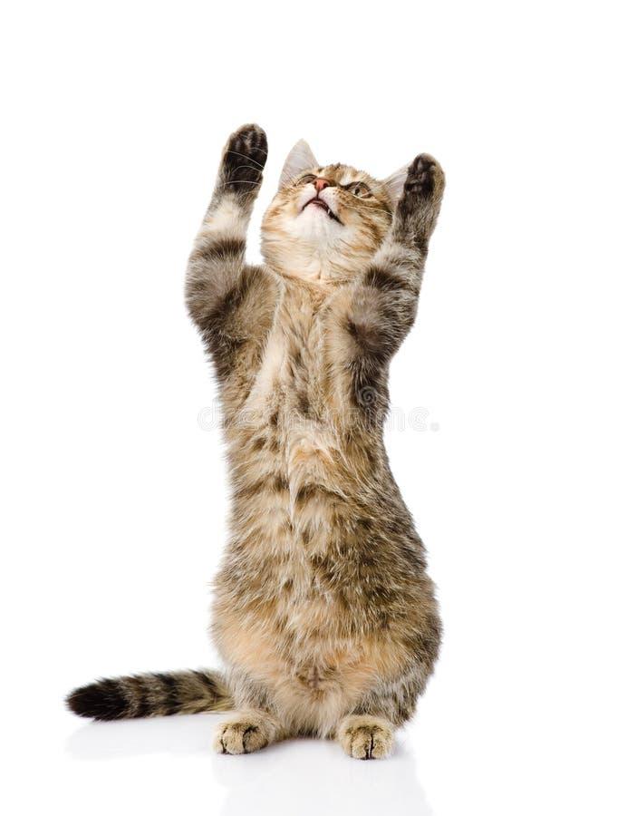 站立在后腿的嬉戏的滑稽的虎斑猫 查出在白色 图库摄影