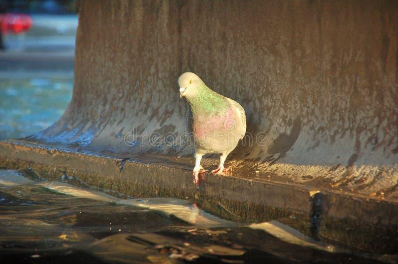 站立在喷泉的边缘的一只灰色鸽子 免版税库存图片