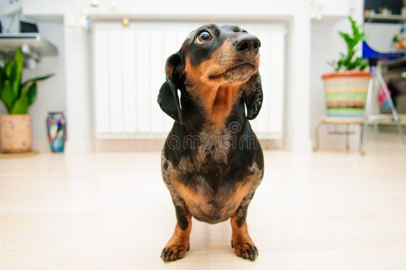 滑稽的达克斯猎犬狗 免版税库存图片