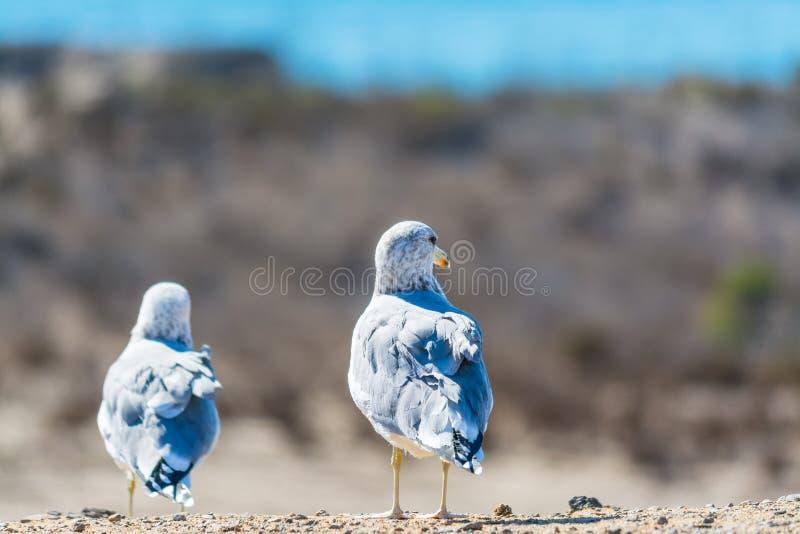 站立在墙壁上的海鸥 免版税库存图片