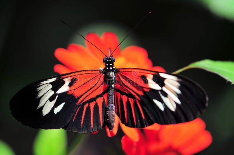 站立在墨西哥向日葵的Heliconius蝴蝶 免版税库存照片