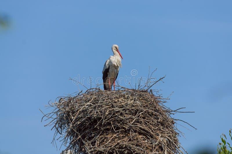 站立在大巢的单独鹳 库存图片