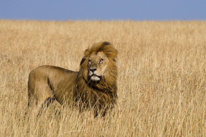 站立在大草原的大公狮子 国家公园 肯尼亚 坦桑尼亚 马赛马拉 serengeti 免版税图库摄影