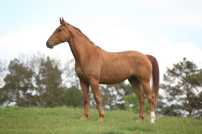 站立在天际的栗子马 免版税库存照片