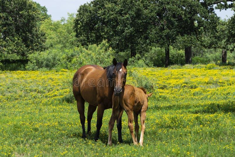 站立在她的幼小驹的母马马在牧场地 图库摄影