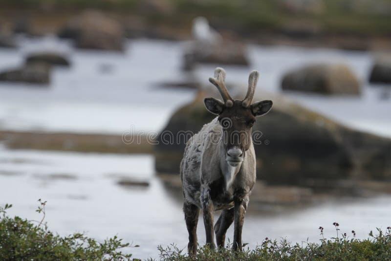 站立在寒带草原的贫瘠地面北美驯鹿在水附近晚夏 图库摄影