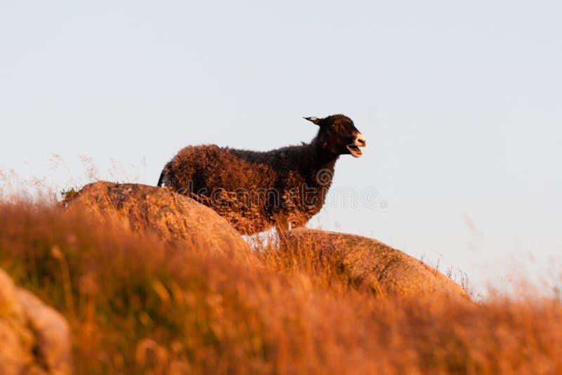 站立在小山顶的绵羊 库存照片
