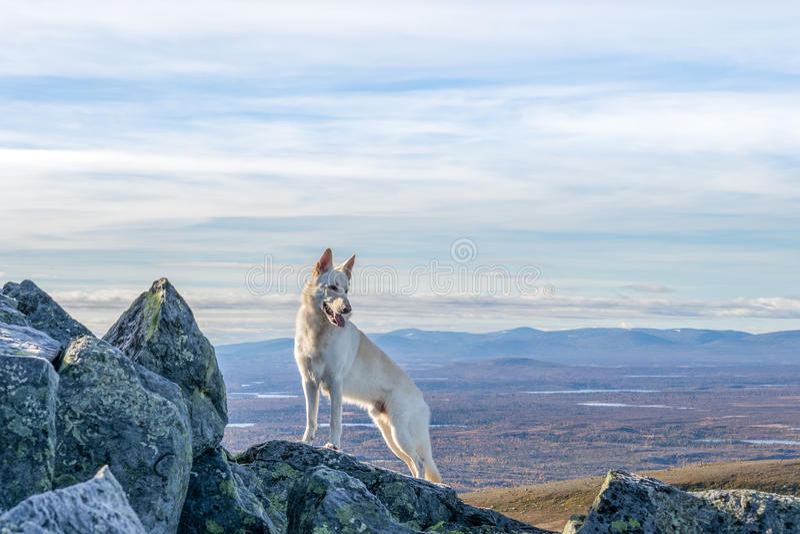 站立在山的白色德国牧羊犬狗 库存图片