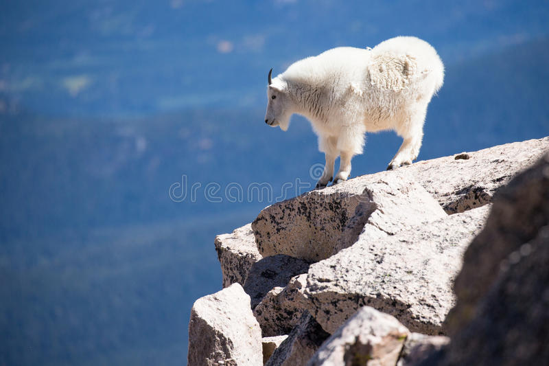 站立在山边缘的石山羊  免版税库存图片