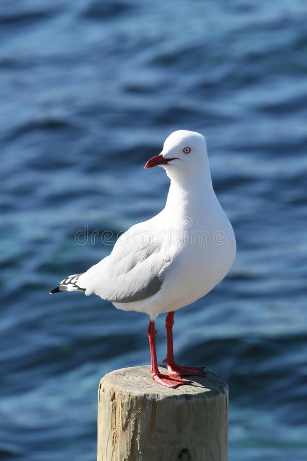 站立在岗位的海鸥 免版税库存图片