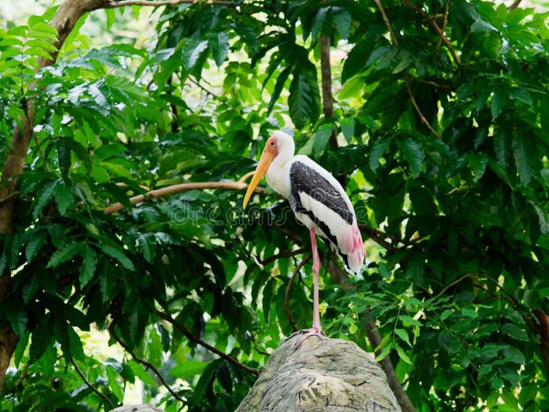 站立在岩石的大被绘的鹳鸟等待寻找 免版税库存图片