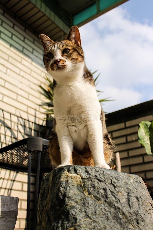 站立在岩石的猫 免版税库存照片