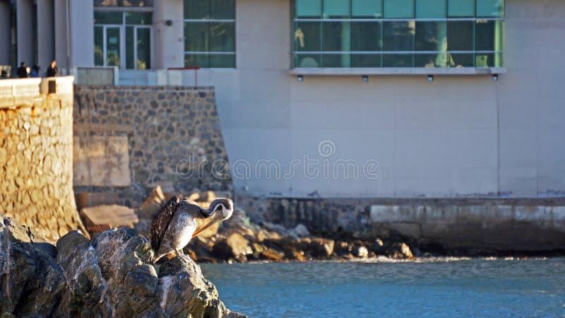 站立在岩石的鹈鹕 免版税库存照片