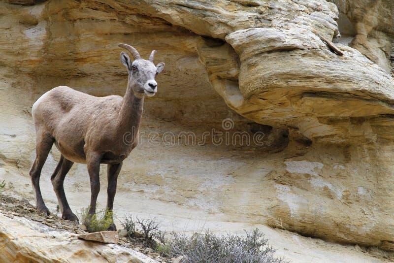 站立在峭壁的母大角野绵羊 库存照片