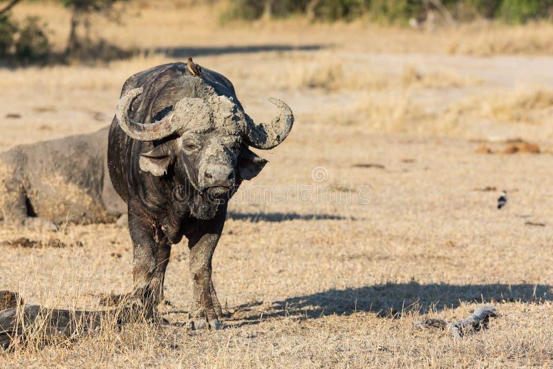 站立在开放查寻的Cape Buffalo可能的危险 库存图片