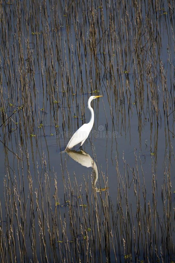 站立在强湿地反射的白色白鹭 库存图片