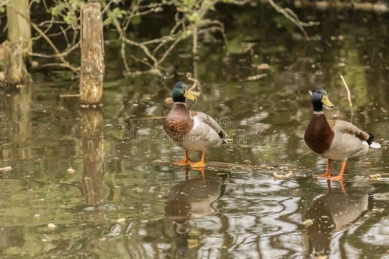 站立在日志的两只鸭子漂浮在水中 免版税图库摄影