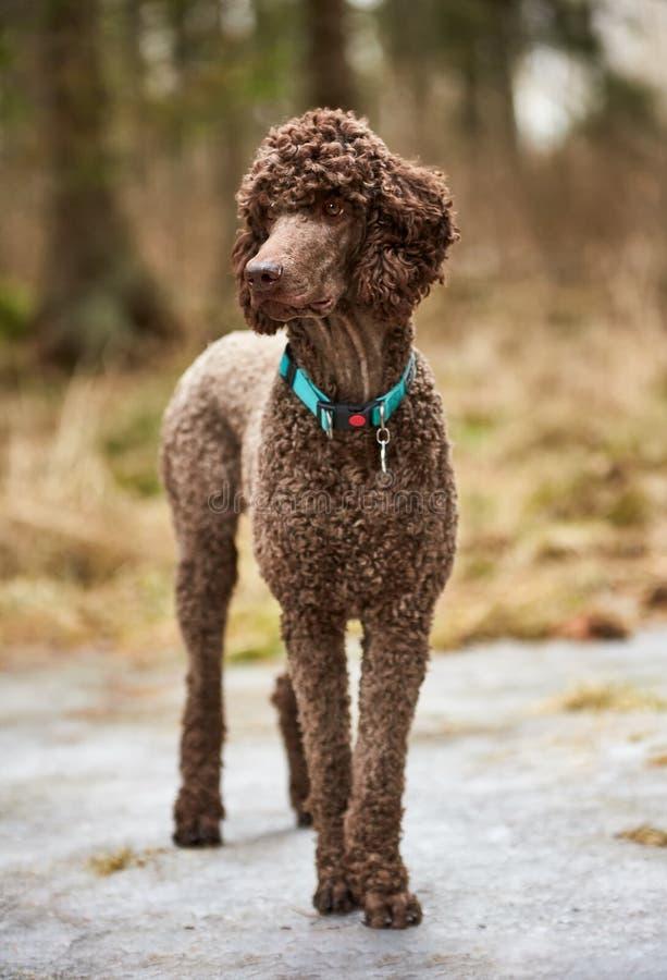 站立在春天森林里的布朗长卷毛狗准备好行动 狗室外纵向 库存照片