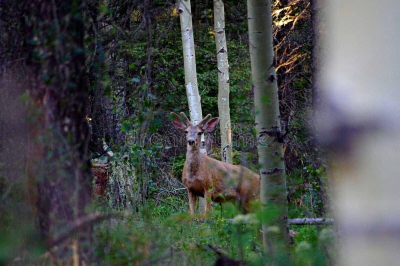 站立在有鹿角的森林里的大大型装配架长耳鹿在丰夏天鹅绒 库存图片