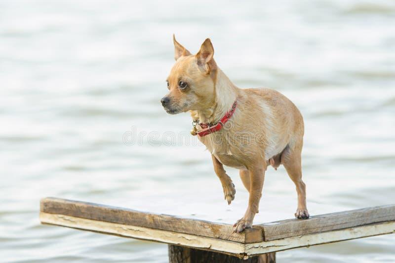 站立在木桌上的奇瓦瓦狗狗在河附近 图库摄影