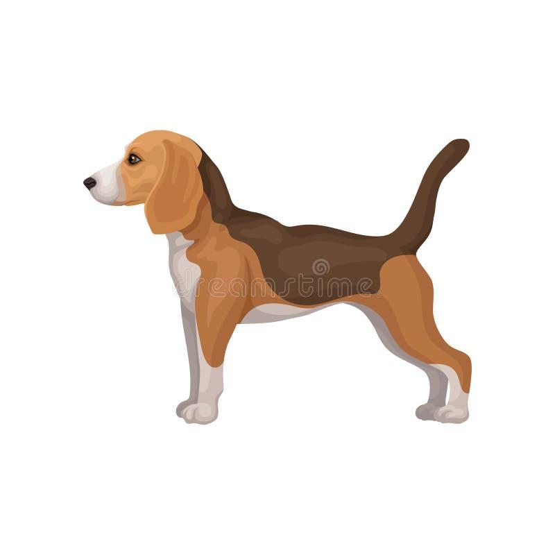 站立在机架,侧视图的逗人喜爱的小猎犬小狗 与短的外套和长的耳朵的猎犬 宠物飞行物的平的传染媒介  向量例证