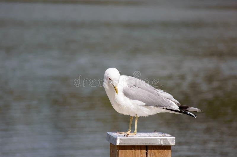 站立在柱子的鸥属canus共同的鸥 免版税库存图片