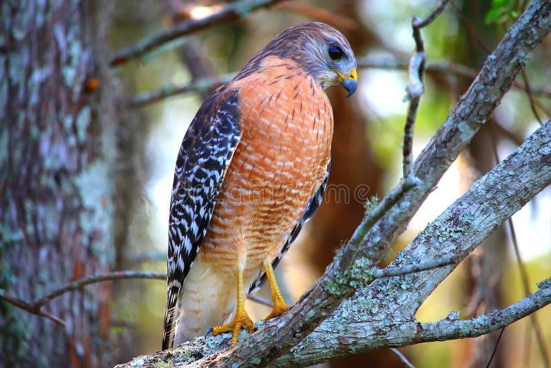 站立在树枝的鹰 库存照片