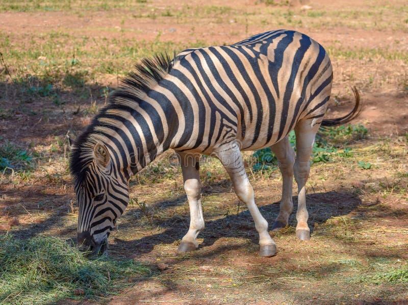 站立在树荫下的斑马公马 免版税库存图片