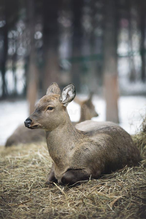 站立在森林的白尾鹿母鹿和一岁在冬天下雪 库存照片