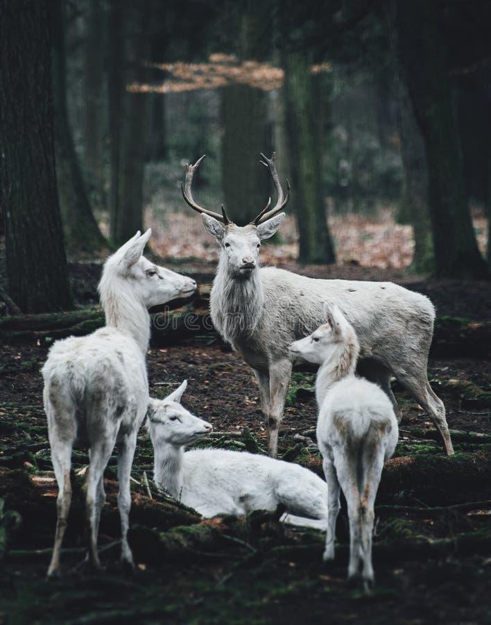 站立在森林的边缘的母亲和小鹿 免版税库存图片