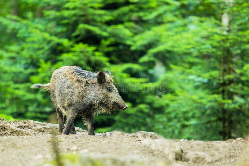站立在森林里的一个野公猪 图库摄影