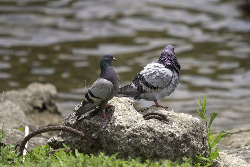 站立在残破的混凝土片断的野生鸽子  库存图片