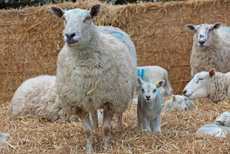 与她的羊羔的母羊 图库摄影