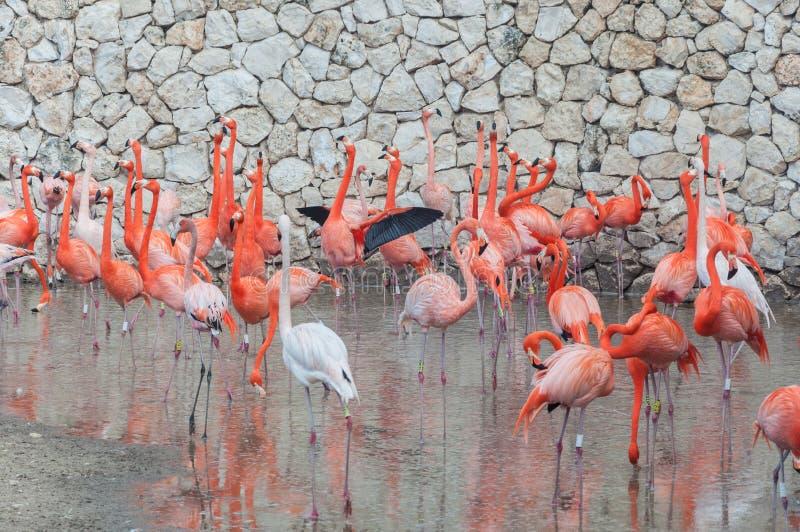 站立在水中的桃红色火鸟 库存图片