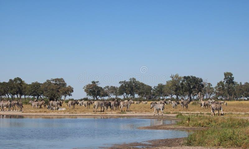 站立在水平底锅旁边的斑马在午间 库存照片