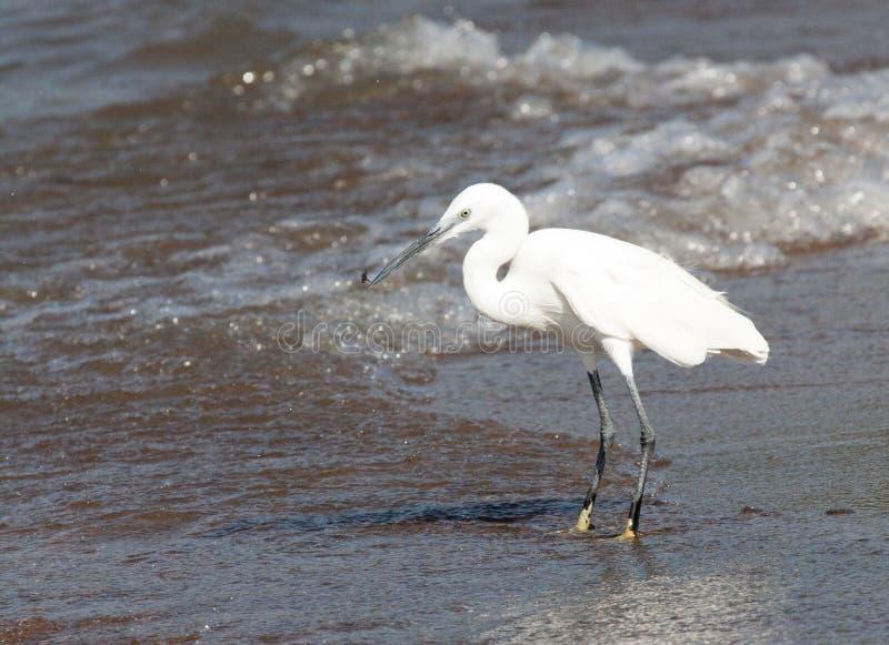 站立在水` s边缘的小白鹭 免版税库存照片