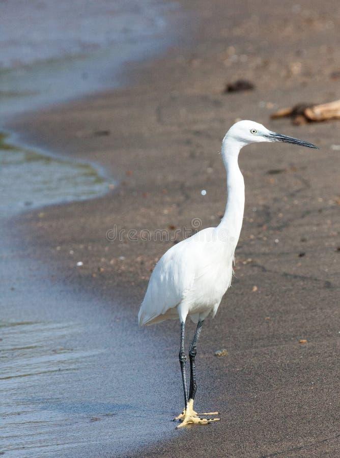 站立在水` s边缘的小白鹭 库存图片