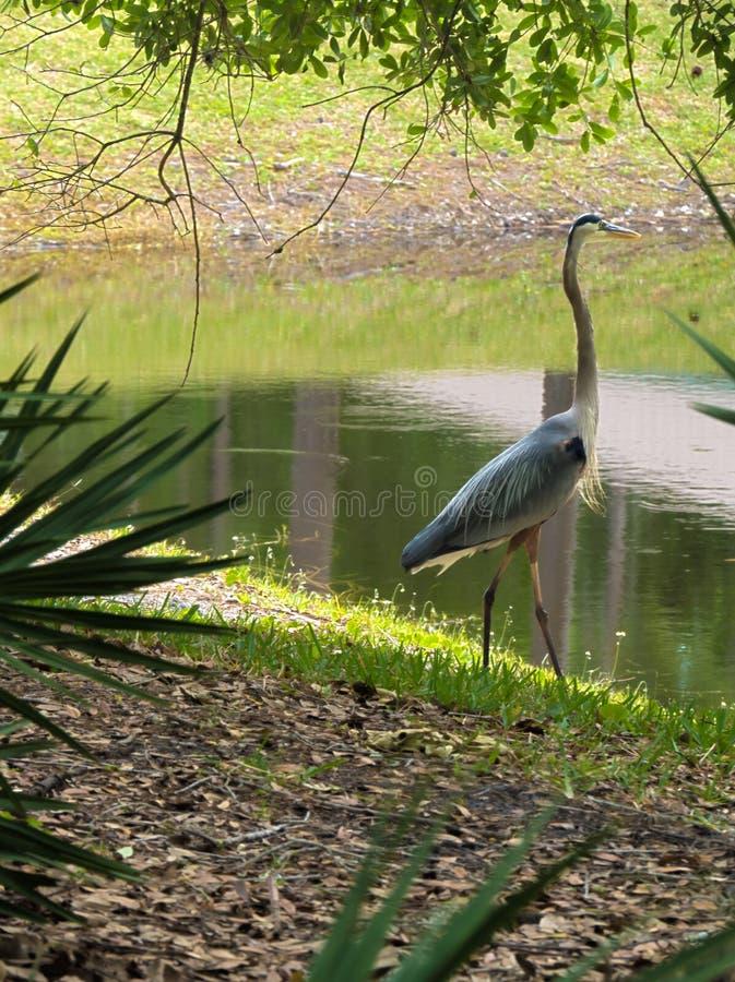 站立在池塘附近的HDR伟大蓝色的苍鹭的巢 库存照片
