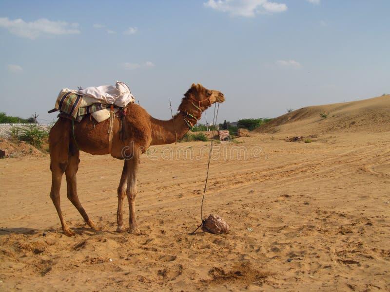站立在沙子的骆驼在沙漠 免版税图库摄影