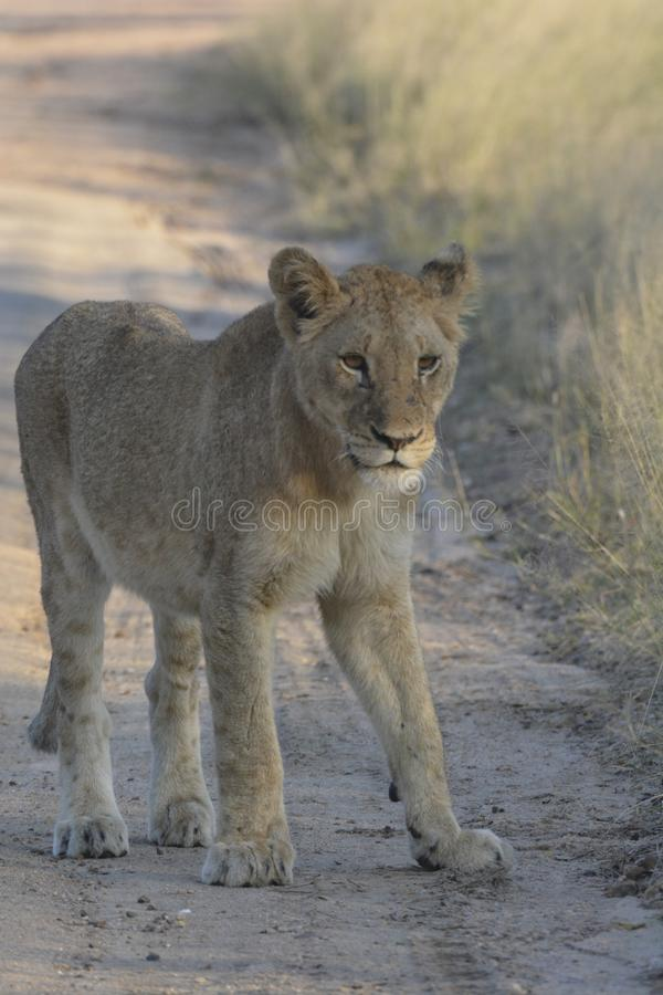 站立在沙子路的幼小狮子看起来注意 免版税库存图片